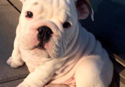 #bulldogs, #greatpuppytrainer, #basicobediencetraining, #housebreaking