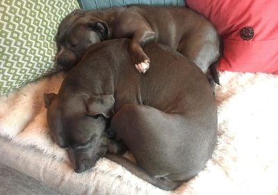 #lovebugs, #lovemypitbulls, #obedientdogs, #nosiblingrivalry