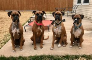 #dogsofBarkBusters, #siblingrivalry, #boxers