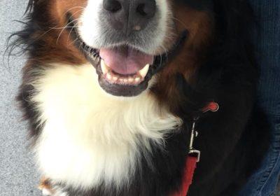 #bernesemountaindog #dogtrainerfairfieldcounty